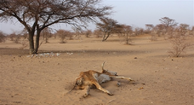 Carcasses dot the sandy landscape in southern Mauritania's Hodh El Chargui region, where a lack of rain has affected both wild vegetation growth and crops. Photo: Jaspreet Kindra/IRIN