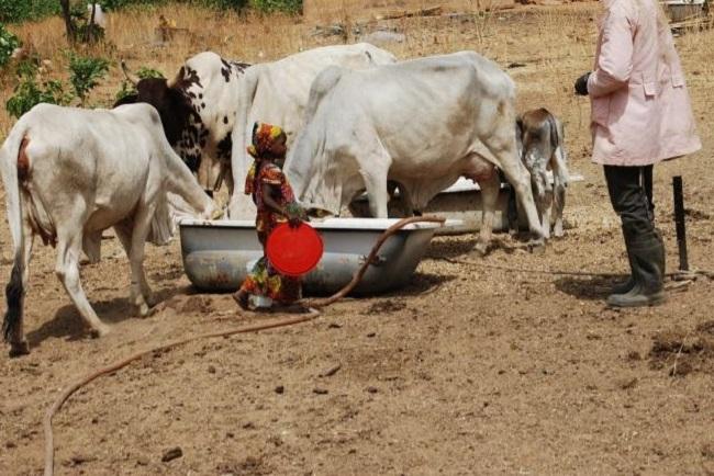Little girl feeding her parents' cows, in Kaduna state - northwest nigeria  © Mohammad Ibrahim/IRIN